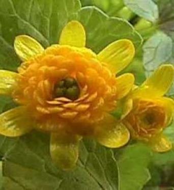 Ranunculus Ficaria Collarette-7 cm pots