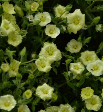 Arenaria Lemon Ice-plug plants