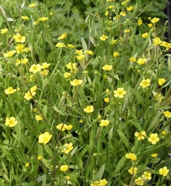 Ranunculus Flammula x 10 barerooted