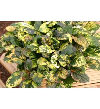 Ajuga Reptans Rainbow-plug plants