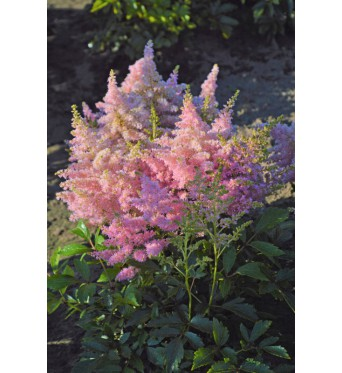 Astilbe Lovely Day-1 litre pots