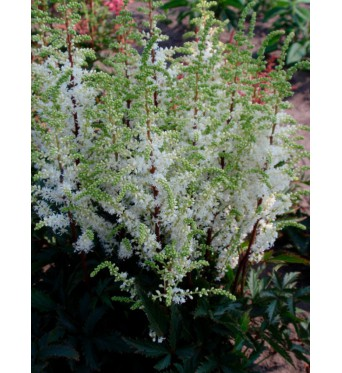 Astilbe Arendsii Whiteberry-barerooted