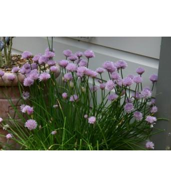 Allium Schoenoprasum-plug plants