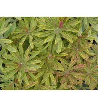 Euphorbia Ascot Rainbow-large plug plants