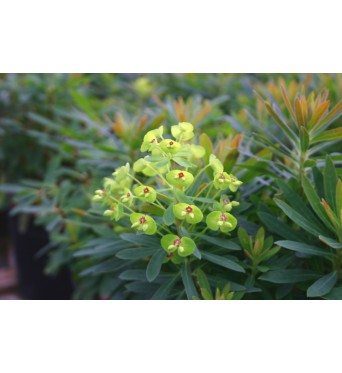 Euphorbia Baby Charm-large plug plants