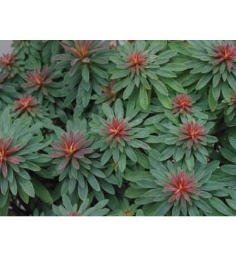 Euphorbia Martinii Rudolph-large plug plants