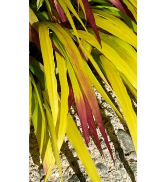 Hakonoclea Sunflare-large plug plants