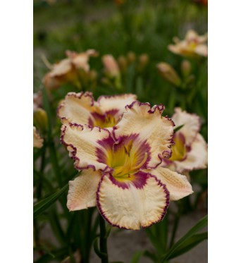 Hemerocallis Antique Linen-1 litre pots