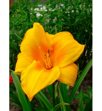 Hemerocallis Chicago Sunrise-barerooted