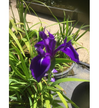 Iris Laevigata Atropurpurea-barerooted