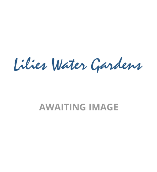 Hemerocallis Night Beacon-barerooted