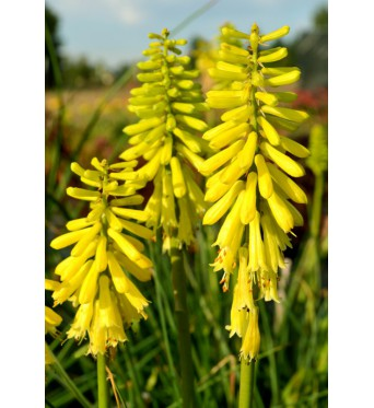 Kniphofia Lemon Popsicle- large plug plants