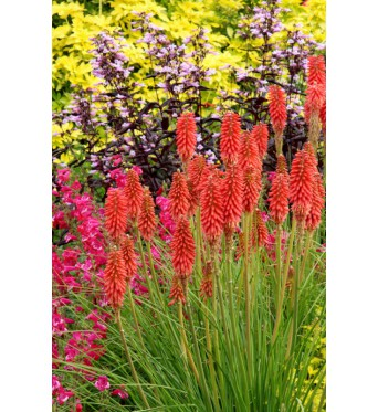 Kniphofia Red Hot Popsicle-9 cm pots