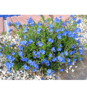 Lithodora Heavenly Blue-plug plants