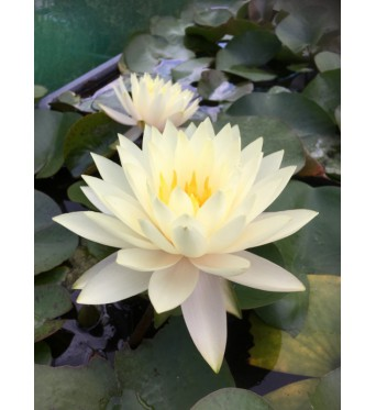 Nymphaea Concordia-EXCLUSIVE-barerooted