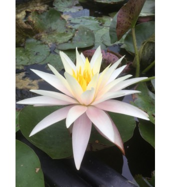 Nymphaea Fairy Skirt-barerooted