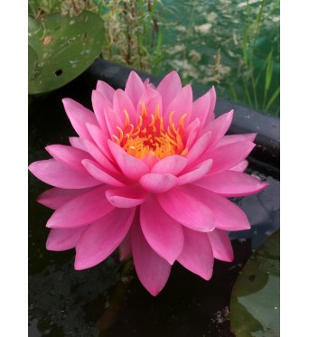 Nymphaea Miss Siam-bare rooted