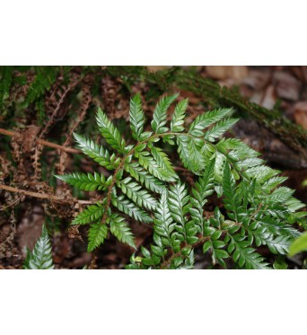 Polystichum Neolobatum-plug plants