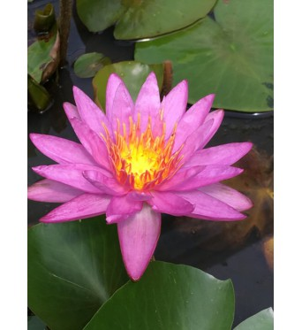 Nymphaea Purple Star-EXCLUSIVE-bare-rooted