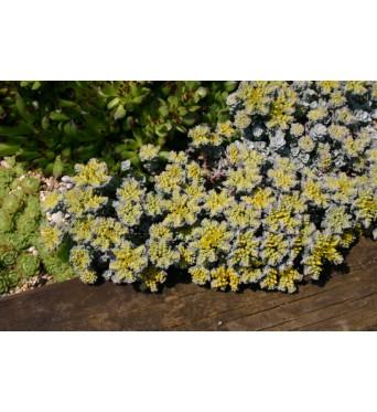 Sedum Spathulifolium Cape Blanco-plug plants