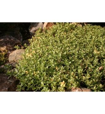 Sedum Kamtschaticum Variegatum-plug plants