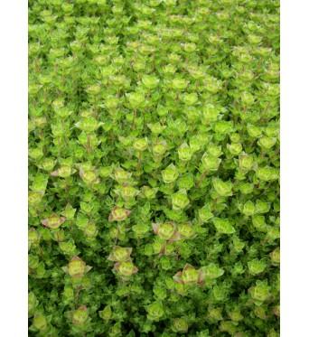 Thymus Camphor-plug plants
