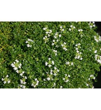 Thymus Serphyllum White-plug plants