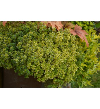 Thymus Citriodorus Golden Queen-plug plants