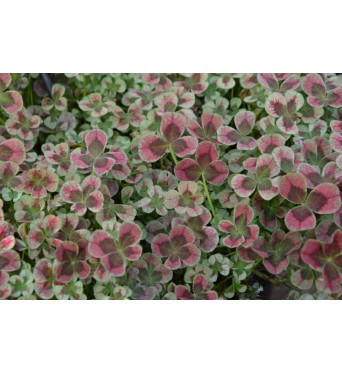 Trifolium Angel Clover Chocolate-plug plants
