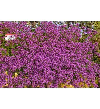 Thymus Coccineus-plug plants