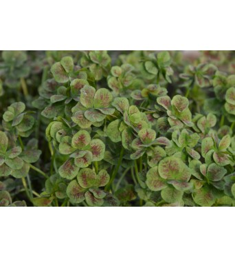 Trifolium Angel Clover Marriage-plug plants
