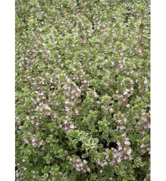 Thymus Hartington Silver-plug plants