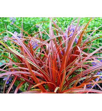 Uncinia Rubra Everflame-large plug plants