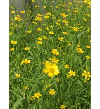 Ranunculus Flammula-7 cm pots