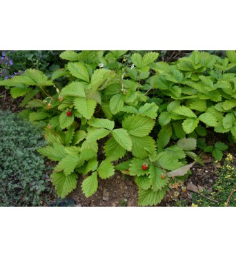 Alpine Strawberry-plug plants