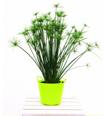 Cyperus Prolifer Little Prince-NOT FROST HARDY-large plug plants