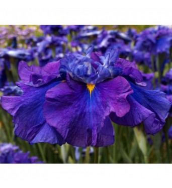 Iris Ensata Columbia Deep Water-1 litre pots