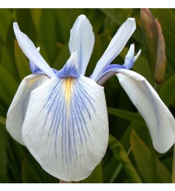 Iris Laevigata Blue Rivulets-barerooted