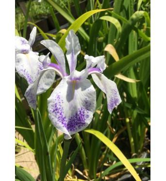 Iris Laevigata Violet Constilations-barerooted
