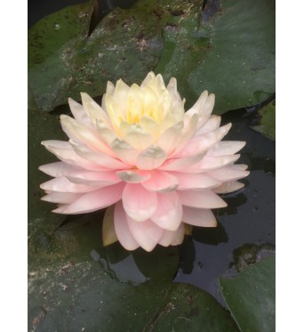 Nymphaea Awesome-barerooted