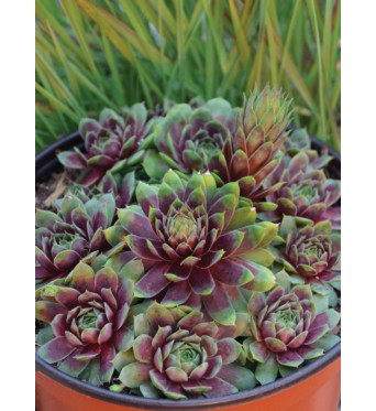 Sempervivum Ruby Heart-plug plants