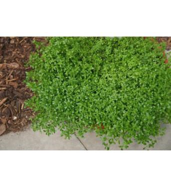 Thymus Citrodorus Lemon-plug plants