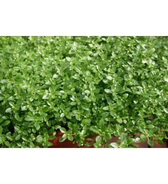 Thymus Orange-plug plants