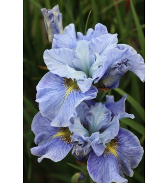 Iris Sibirica Mission Bay-9 cm pots