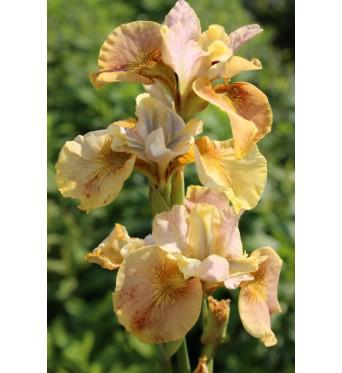 Iris Sibirica White Amber-9 cm pots