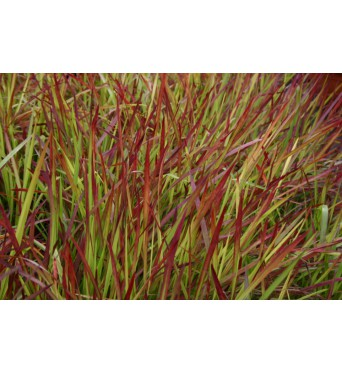 Imperata Cylindrica Red Baron-9 cm pots