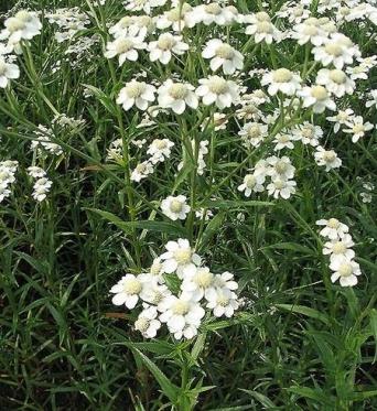Achillea Ptarmatica-9 cm pots