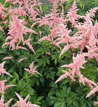 Astilbe Bressingham Beauty 1 litre pot