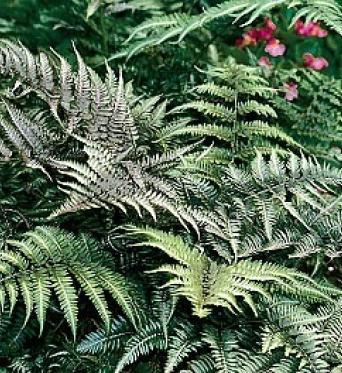 Athyrium Niponicum Var. Pictum-9 cm pots