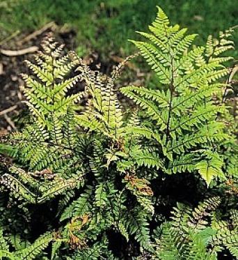 Athyrium Otophorum Var. Okanum-9 cm pot